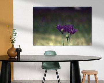 Purple poppies von Michael Nägele