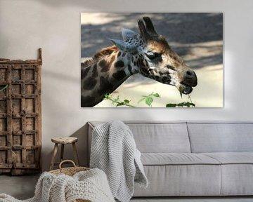 giraffe aan het eten von Joan Plaatsman
