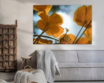 Orange Mohnblumen von JacQ