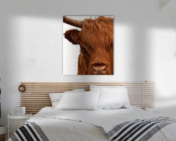 Schotse hooglander portret in kleur met witte achtergrond van Marjolein van Middelkoop
