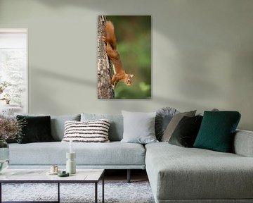 Eekhoorn van Menno Schaefer