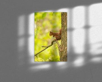 Eichhörnchen, Rotes Eichhörnchen. Sciurus vulgaris von Gert Hilbink