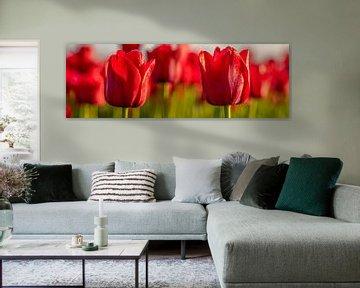 Tulpen, rote Tulpen in den Niederlanden. von Gert Hilbink