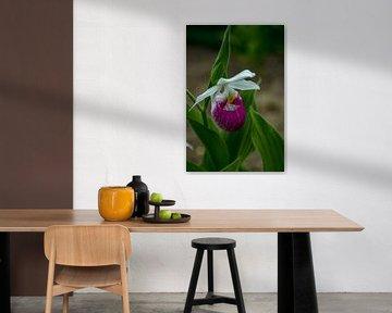 Vrouwenschoentje Venusschoentje Cypripedium calceolus van Evelien van der Horst