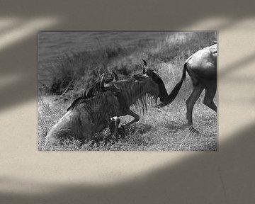Gnus überqueren den Mara-Fluss zwischen Kenia und Tansania von Koolspix