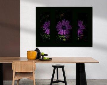 Spanisches Gänseblümchen-Triptychon von HvNunenfoto