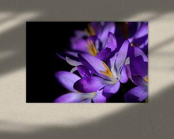 Blühender lila Krokus vor dunklem Hintergrund von Ulrike Leone