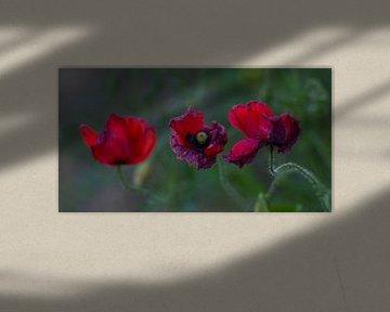 Rot und Violett von peterheinspictures