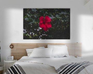 leuchtend rote Blume auf den Azoren von Isai Meekers