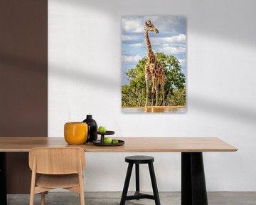 Eine Giraffe, die nach dem Himmel greift. von Gunter Nuyts