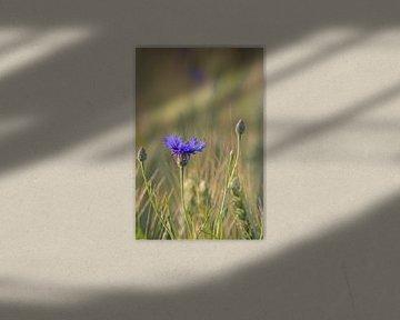 Korenbloem van Judith Reinders-Peters