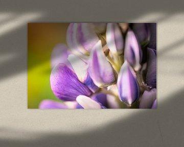 Bloem van lupine van Jeroen Mikkers