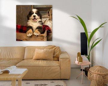 Berner Pup Gozer van Bob de Bruin