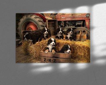 Berner sennen Pups van Bob de Bruin