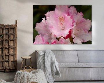 Rhododendronblüte von Erich Werner