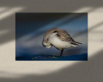 Sanderling von Peter Deschepper