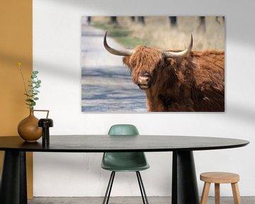 Schotse Hooglander met zijn lange haren in Deelerwoud. van Merijn Loch