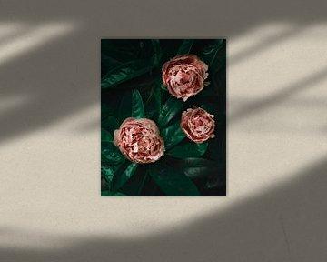 Rosa Pfingstrose,  auf grünen Blättern von Joske Kempink