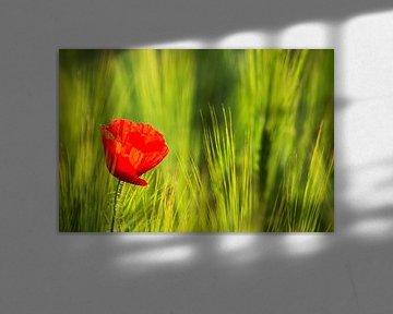 Une fleur de pavot sur la prairie