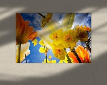 Blick nach oben, Narzissen und Tulpen, niederländischer Stolz von Marly De Kok