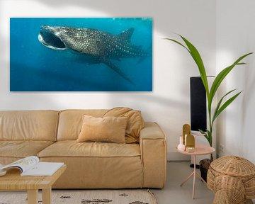 Walhai im Indischen Ozean von Christian Klös