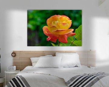 Geel en rose  een aparte natuur combinatie van JM de Jong-Jansen