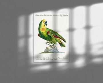 Papagei, Saverio Manetti
