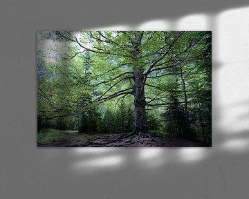 Imposante, oude boom in Ordesa Nationaal Park, Spanje van Koolspix