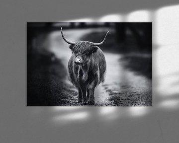 Wandernder schottischer Highlander schwarz-weiß von Dennis Bresser