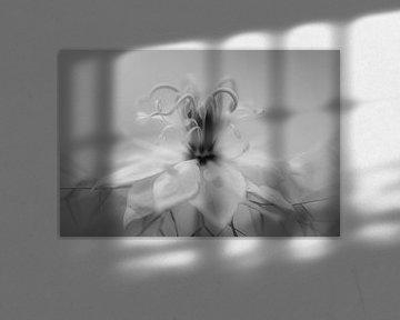 Nigella in Weiß von Tania Perneel