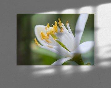 Makrofoto der Blüte einer Zitruspflanze von Peter Apers