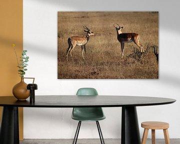 Afrikanische Gazelle von Stephanie Visser