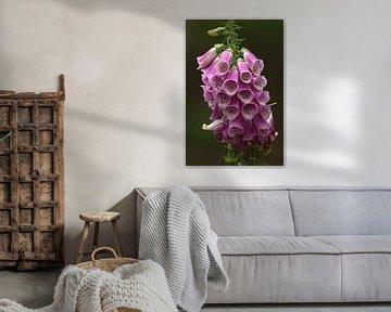 violetter Fingerhut 7 von Marvin Van Haasen