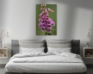 violetter Fingerhut 8 von Marvin Van Haasen