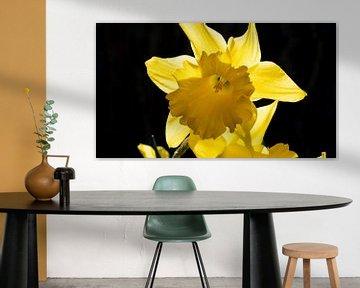 Gelbe Narzisse auf schwarzem Hintergrund von Robin Jongerden