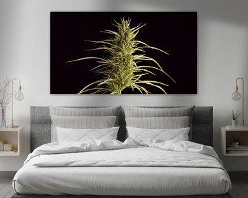 Cannabis in Blüte - Nahaufnahme von Robin Jongerden