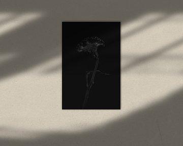 Celosia schwarz von Carla Van Iersel