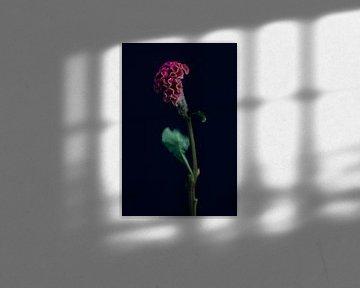 Celosia-Blume von Carla Van Iersel