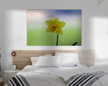Einzelne Narzisse vor einem pastellfarbenen Hintergrund von cuhle-fotos
