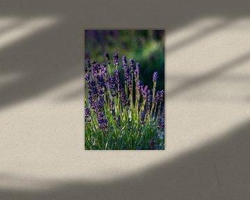Blühender Lavendel von Clazien Boot