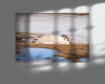 Spitzbergen-Rentier von Merijn Loch