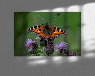 vlinder Kleine Vos op de distel sur Arie Jan van Termeij