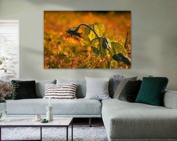 Sonnenblume im Abendlicht von Renate Dohr