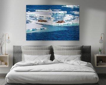 Walross auf Eisschollen von Merijn Loch