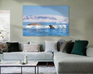 Walrus in het water en op een ijsschots van Merijn Loch