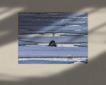 Zeehond tussen de ijsschotsen van Merijn Loch