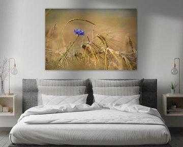 Bleuet bleu dans un champ de maïs doré sur Silvio Schoisswohl