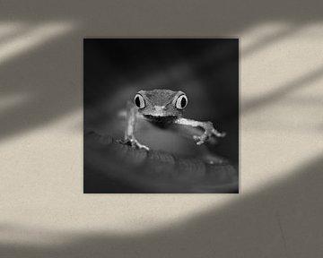 Weißliniger Laubfrosch von Frans Lemmens