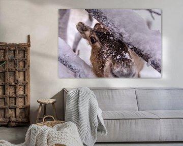 Rentiere im finnischen Lappland bei Levi von Kevin Pluk