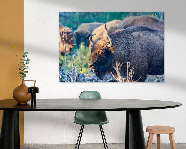 Sfeerimpressie: Wysent (europese Bison) in de maashorst van Kevin Pluk